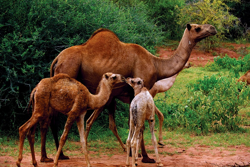 WHAT DO CAMELS EAT