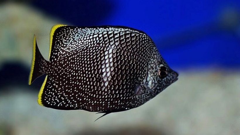 These are three of the most exotic and expensive fish in the world